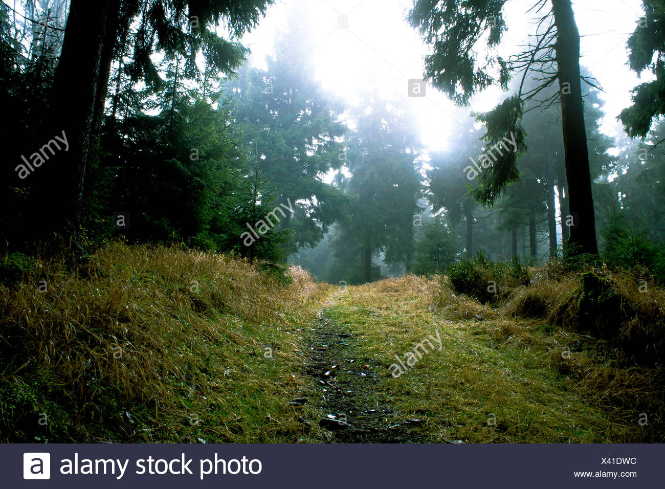 misty forest - Stock Image