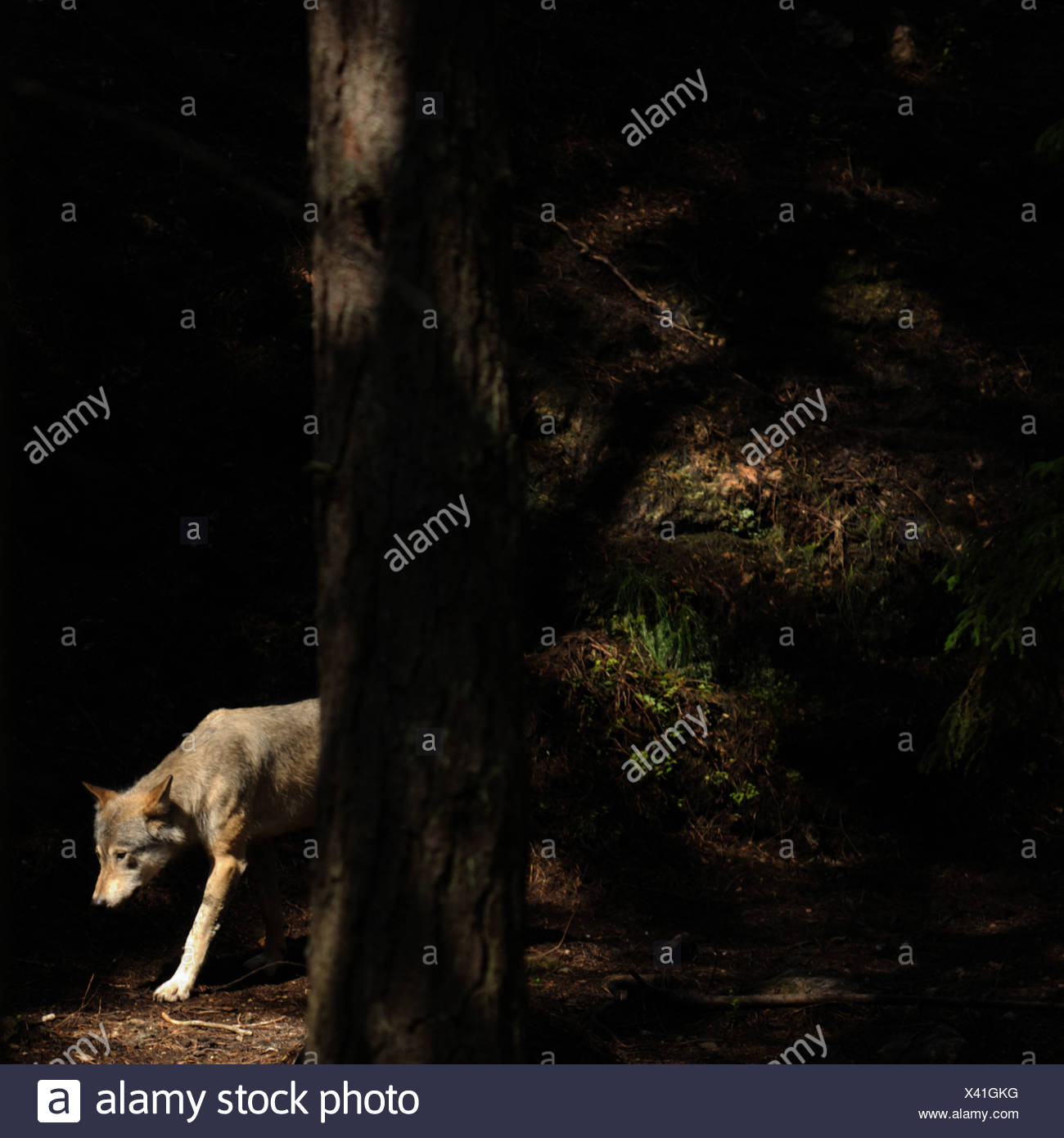 Lonely wolf in the forest - Stock Image