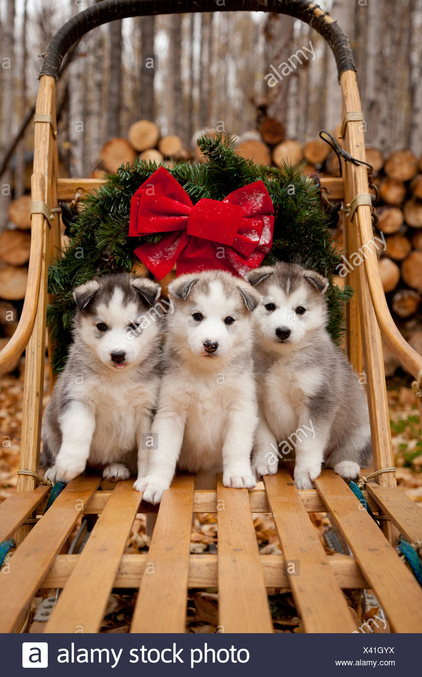 Siberian Husky puppies in traditional wooden dog sled with Christmas wreath, Alaska Stock Photo