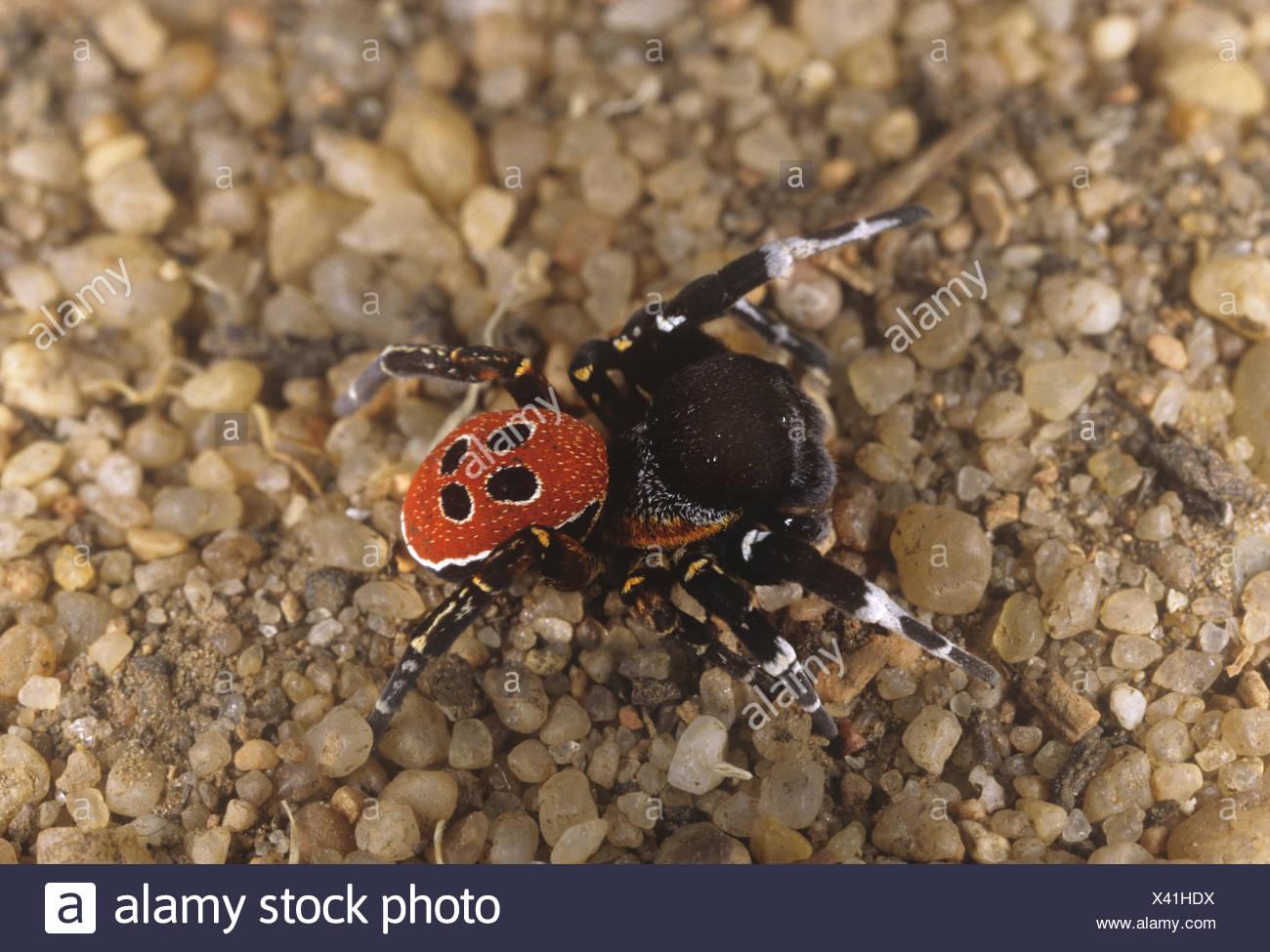 Ladybird Spider - Eresus niger - Stock Image