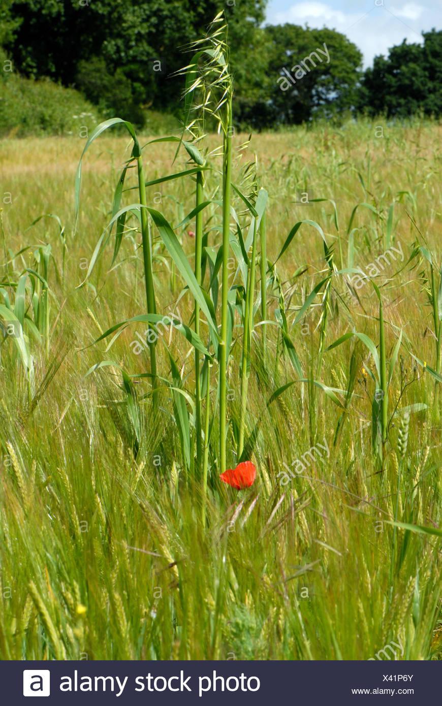 Wild oats Avena fatua flowering in a weak barley crop in green ear Stock Photo