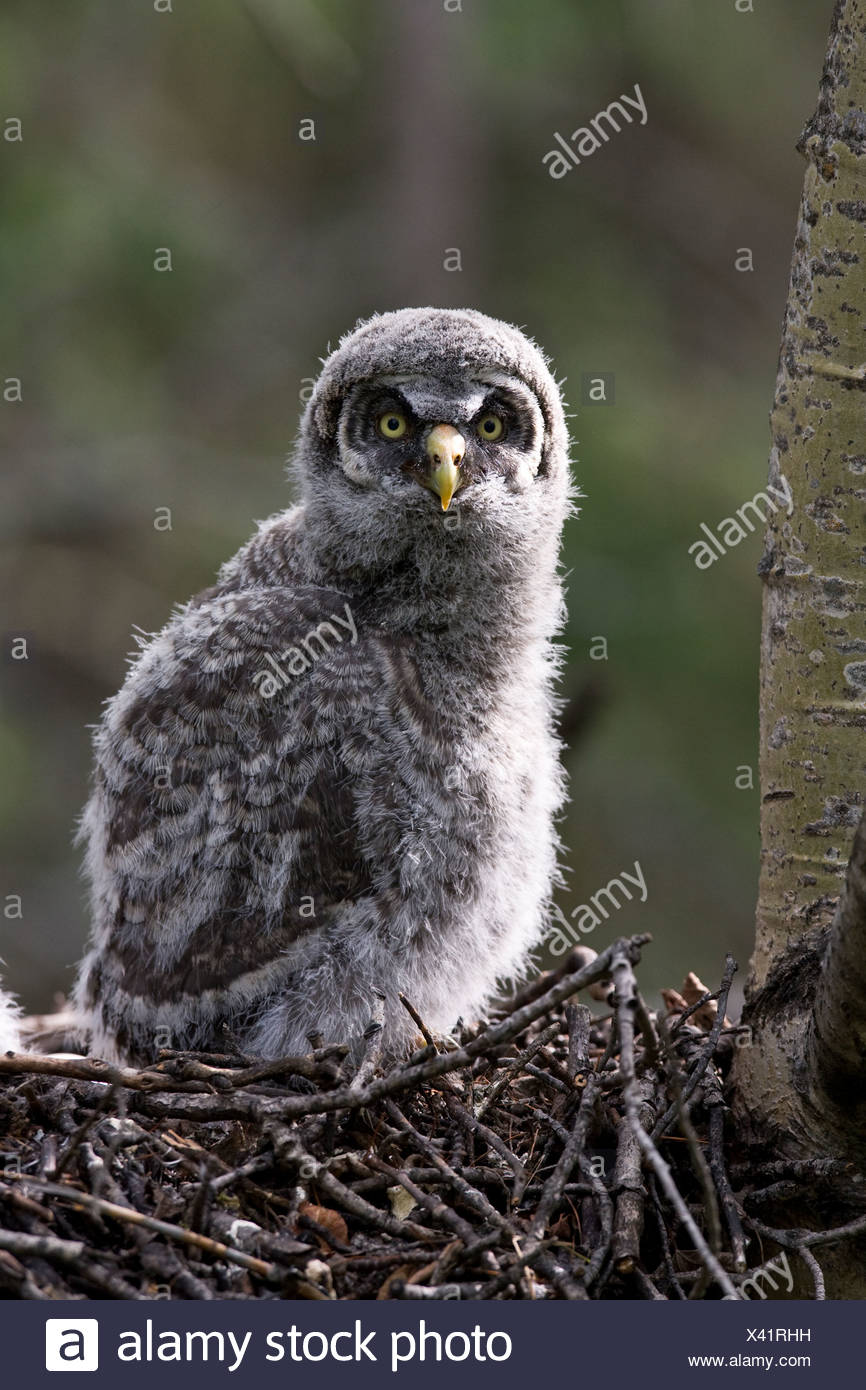 Great gray owl chick (Strix nebulosa), nestling near Elk Island National Park, Alberta. - Stock Image