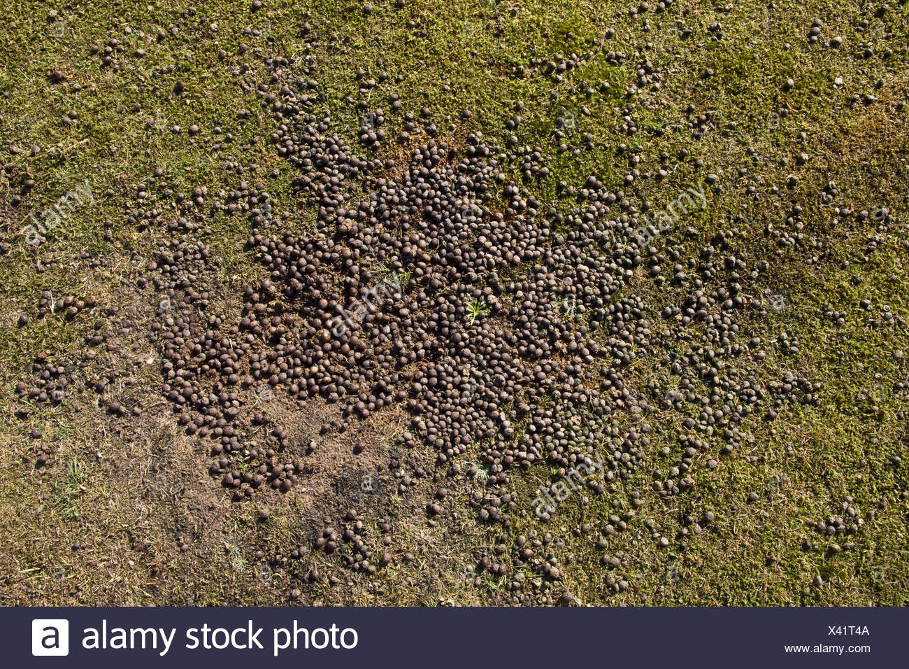 Rabbit droppings on closely grazed grass - Stock Image