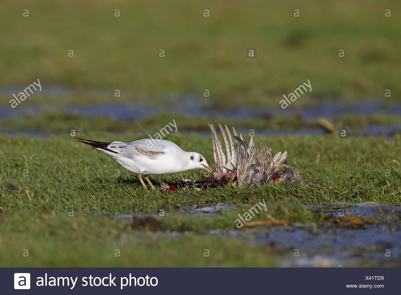 Black-headed Gull Larus ridibundus immature first winter plumage feeding on dead Common Pheasant Phasianus colchicus adult male - Stock Image