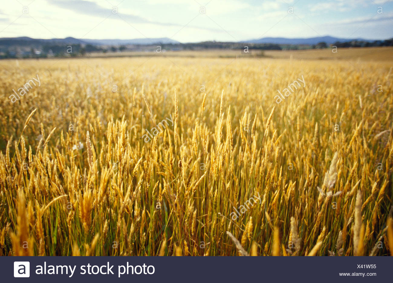 A golden field crop of seeding grasses catches the morning light. - Stock Image