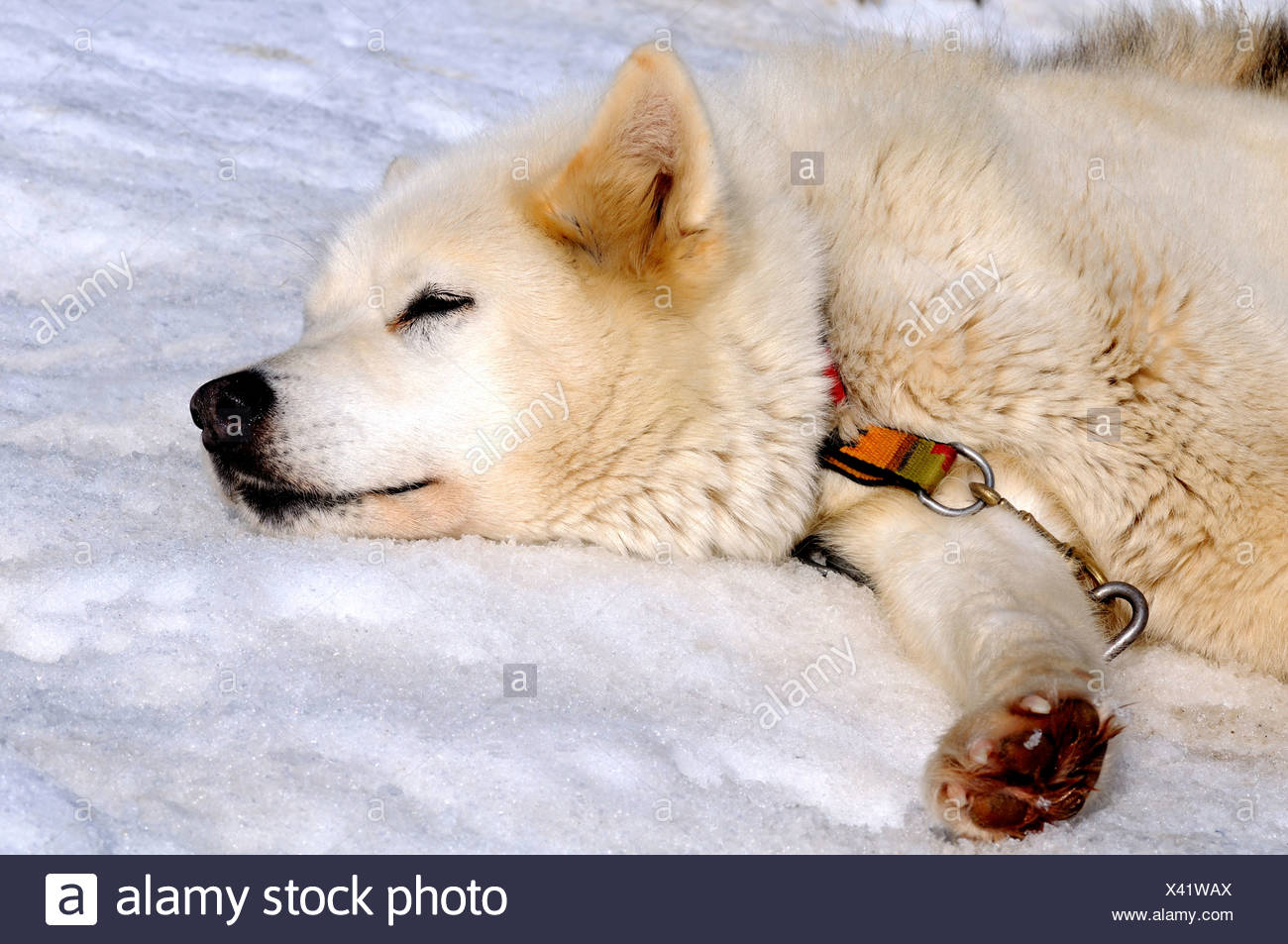 Greenland Dog sleeps on snow - Stock Image