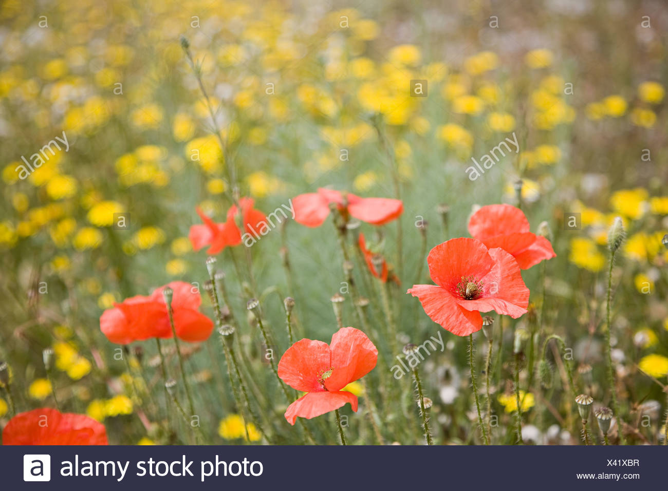 A field of poppies - Stock Image