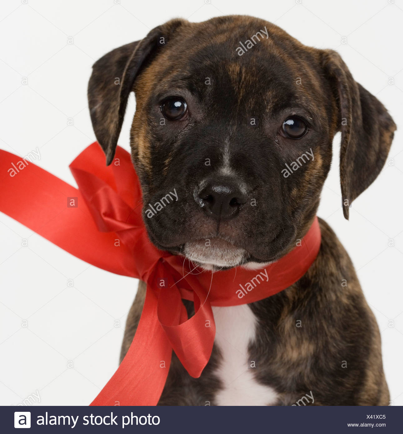 Pitbull puppy wearing red ribbon - Stock Image