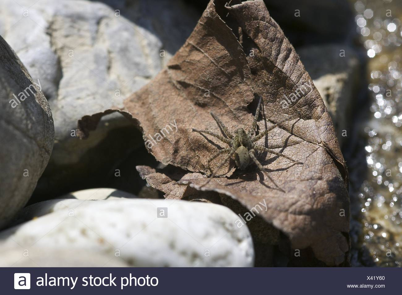 Wolf Spider, Female (Pardosa amentata) - Stock Image