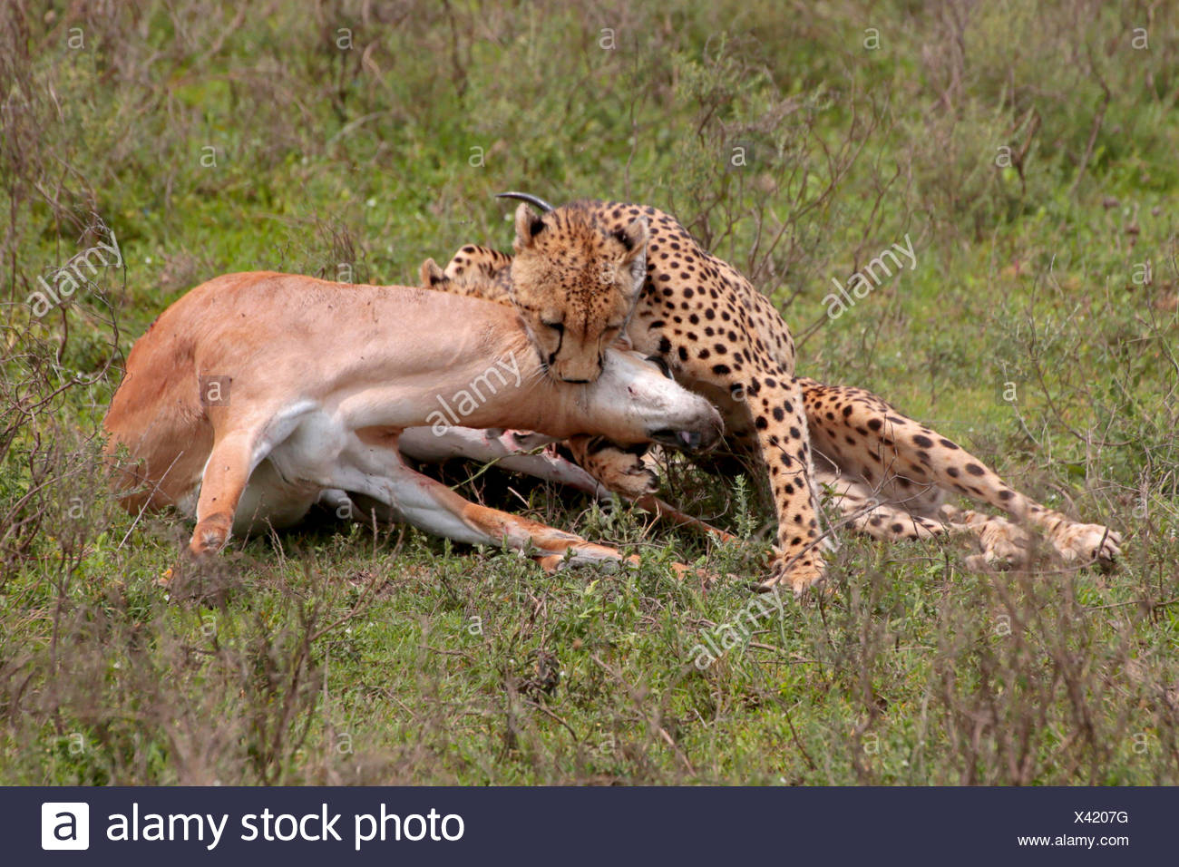 cheetah (Acinonyx jubatus), with caught Grant's gazelle, Tanzania, Serengeti National Park - Stock Image