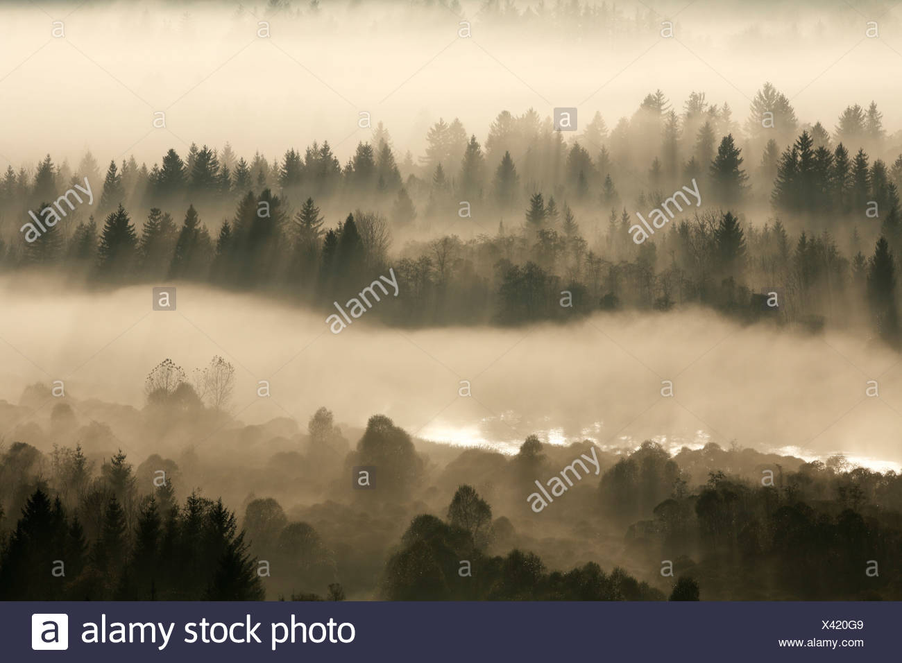 Conifer forest in morning fog, morning mood in the Pupplinger riparian forest near Wolfratshausen, Isar wetlands, Upper Bavaria Stock Photo