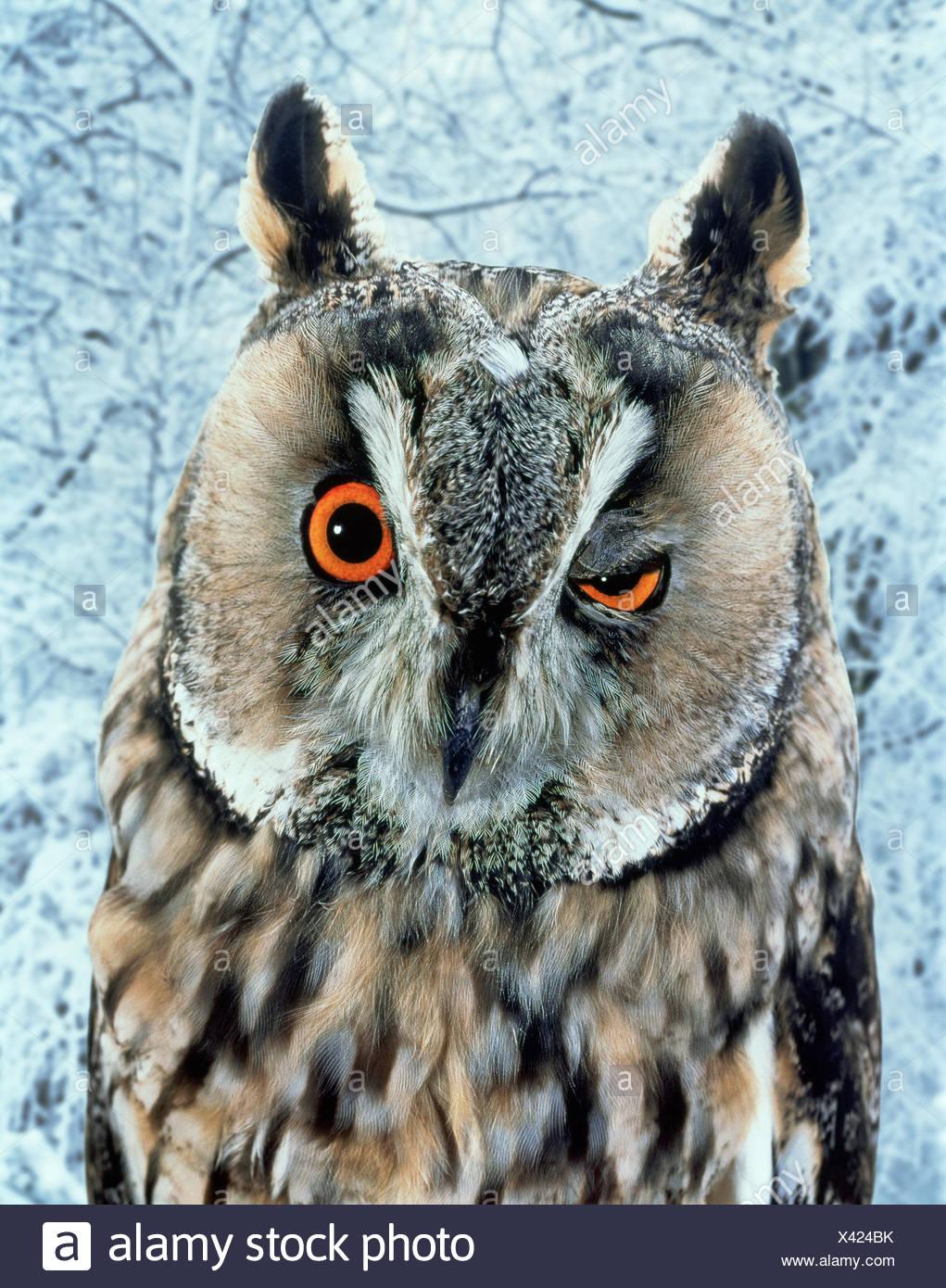 Owl blinking / winking (digitally enhanced) captive - Stock Image