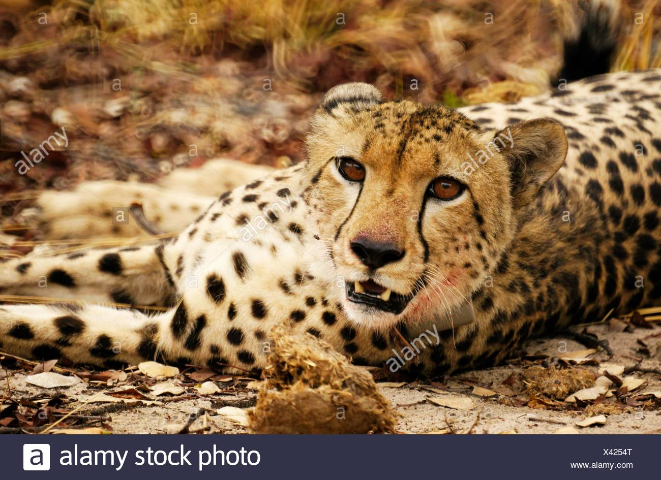Cheetah Lea, with collar, at the Moremi Game reserve, Botswana - Stock Image