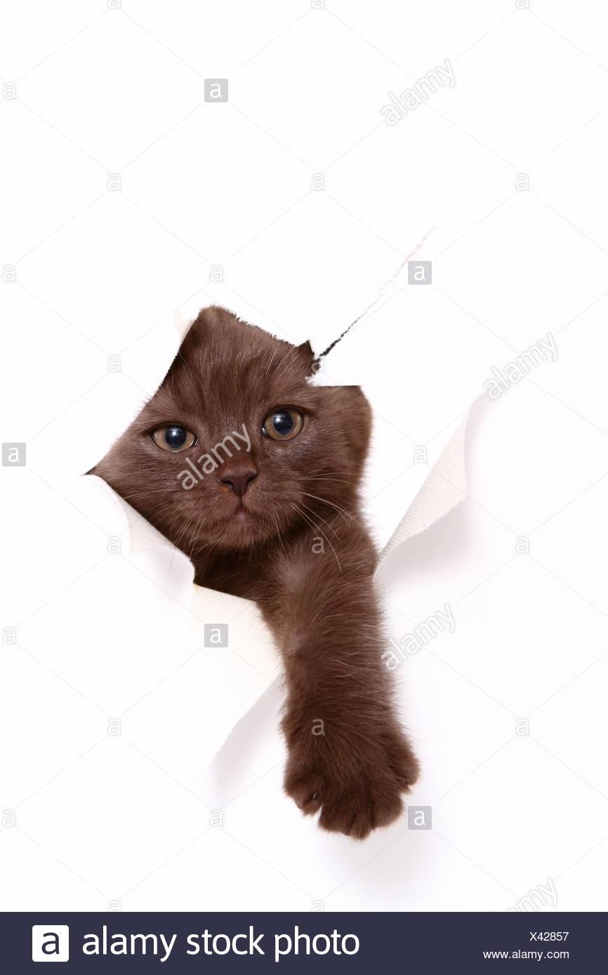 British Shorthair Kitten - Stock Image