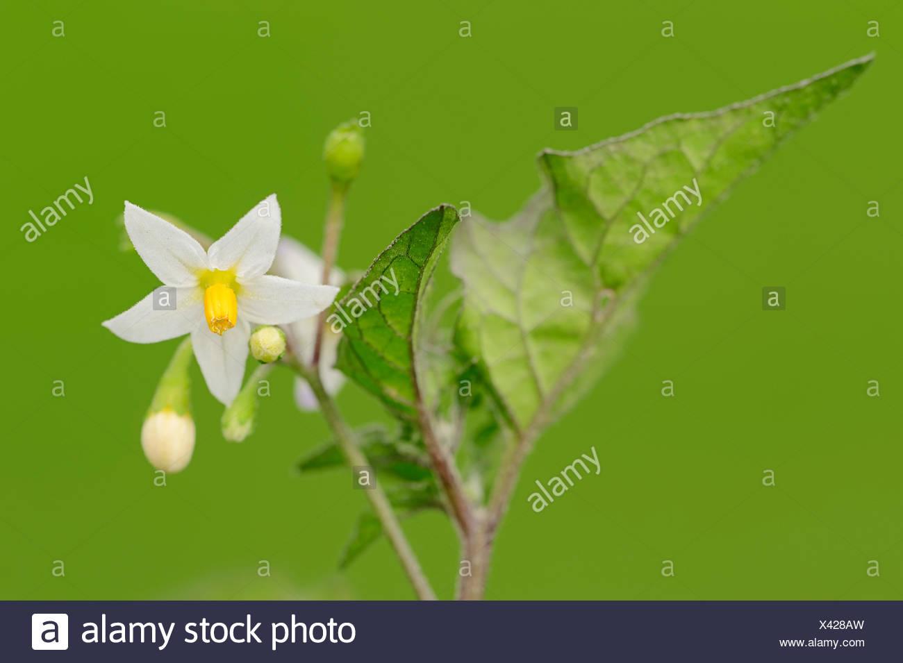 European Black Nightshade, Duscle or Hound's Berry (Solanum nigrum), flower, North Rhine-Westphalia, Germany - Stock Image
