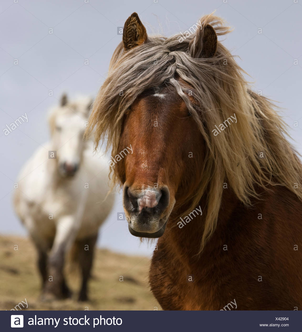 Head portrait of a Classic pony stallion (Equus caballus) and one of his mares, in Auvergne, France. - Stock Image