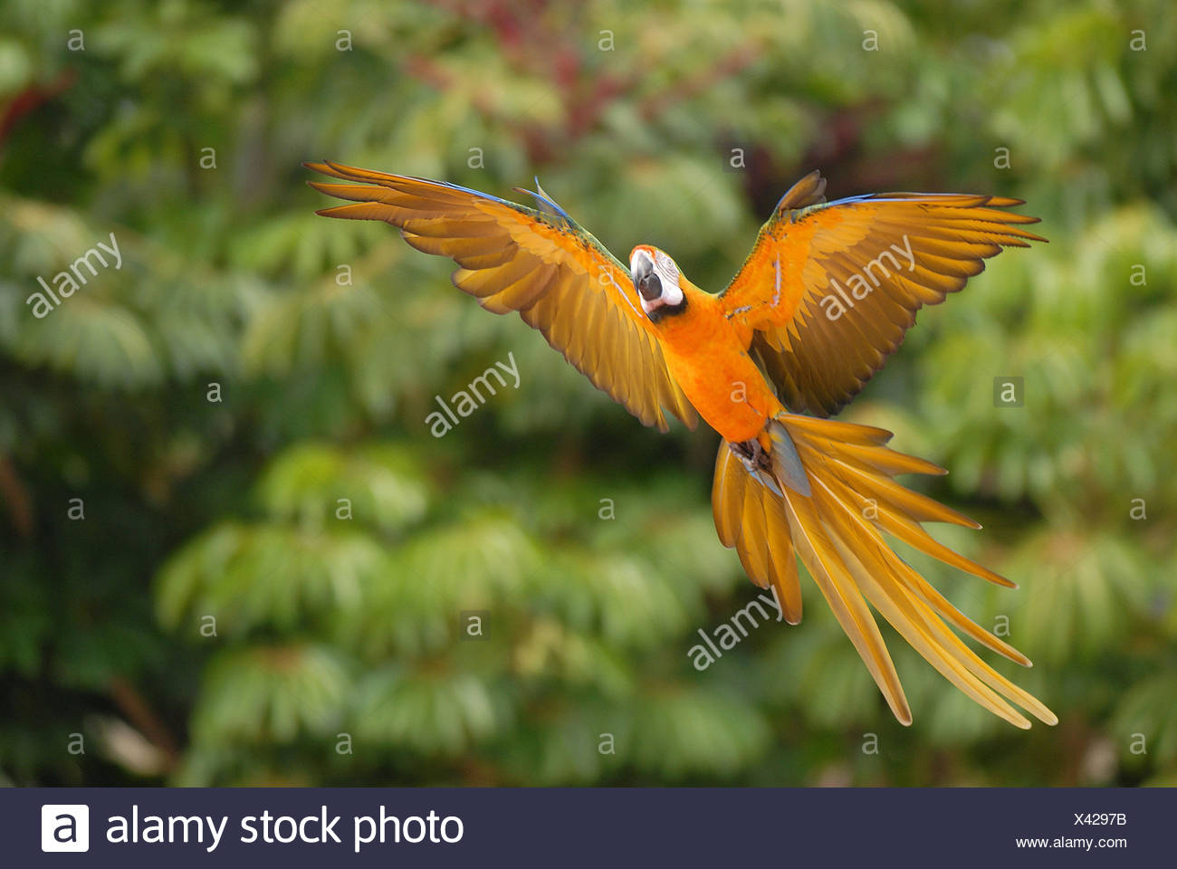 Jungles, yellow Ara, Ara ararauna, flight, Wildlife, wild animal, animal, bird, parrot, parrots, Par-red, fly, swing wing, spread, feathers, tail feathers, outstretched, - Stock Image