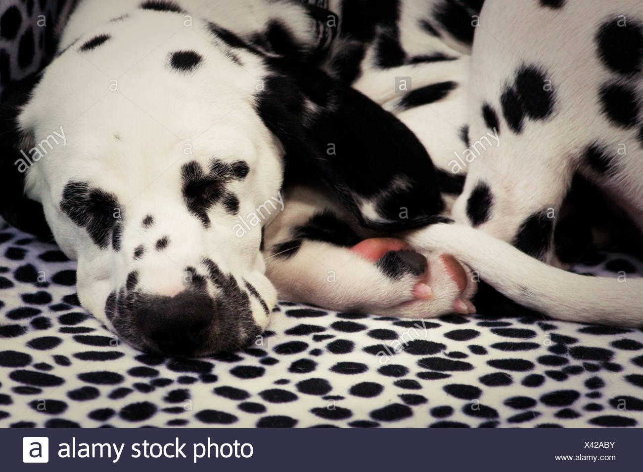 sleeping,dalmatian - Stock Image