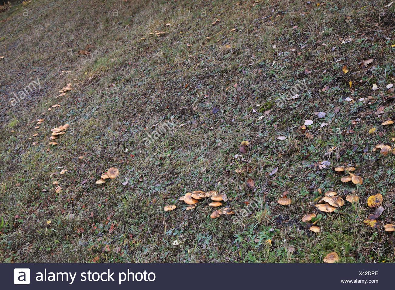 Fairy ring of slippery jack, suillus luteus - Stock Image