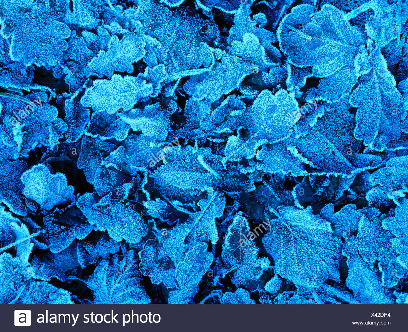 Frozen leaves from a Oak (Quercus Robur) Stock Photo