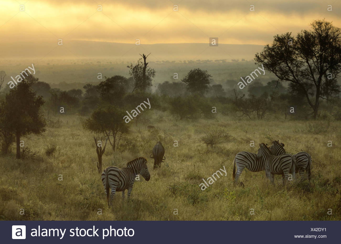 South Africa, Kruger National Park, Misty morning with Zebras and wildebeest Stock Photo