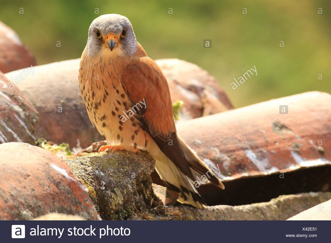 Lesser kestrel, male, in a colony. Extremadura, Spain - Stock Image