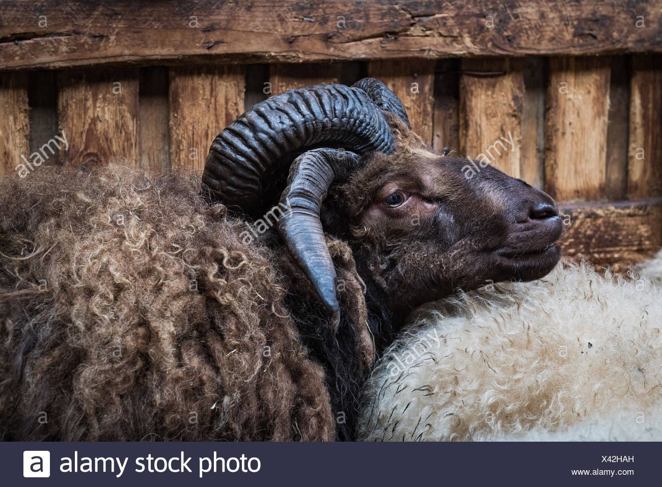 Brown Sheep with two horn pairs, mutation, special, four horns, Saudarkrokur, Iceland - Stock Image