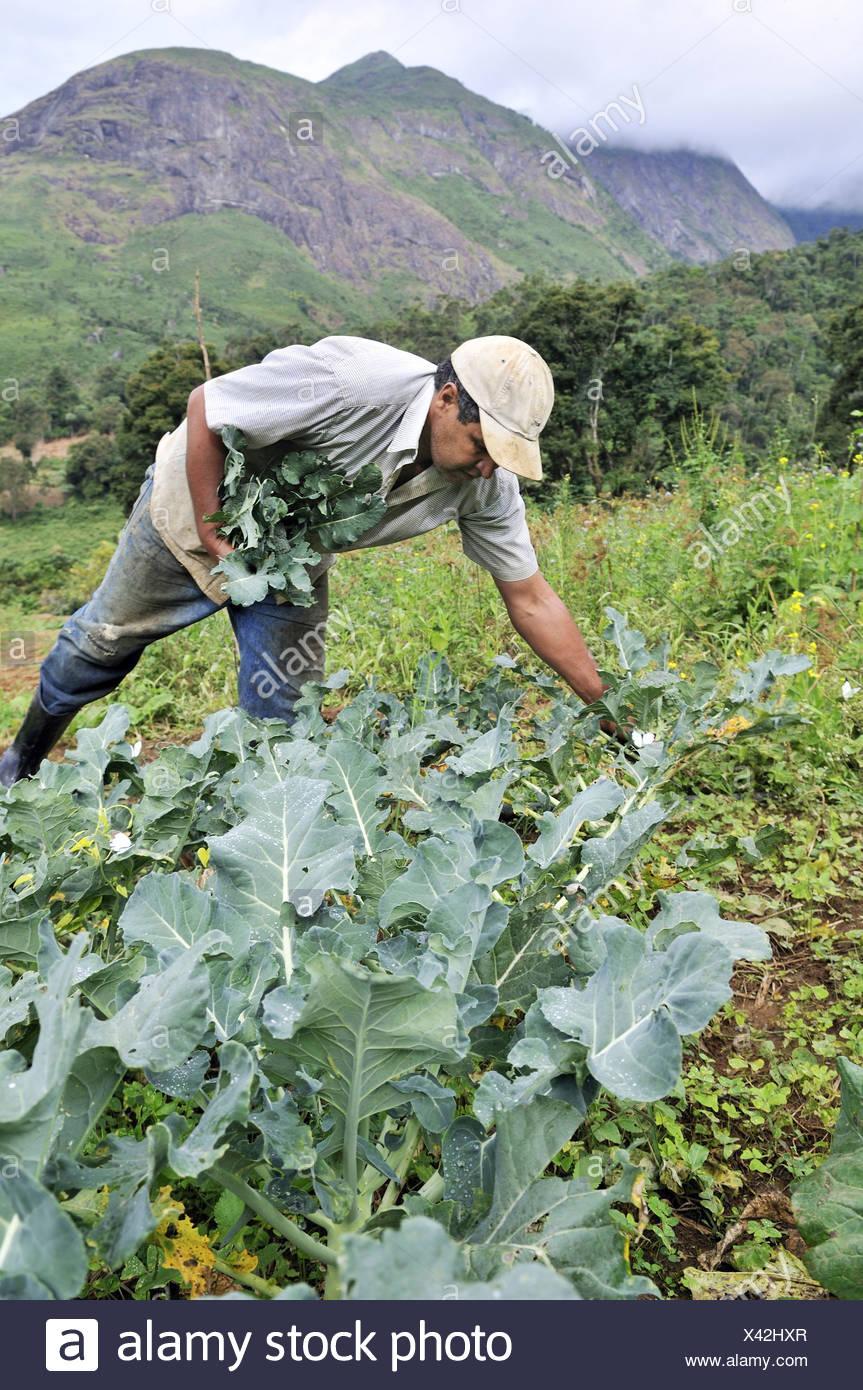 Farmer harvesting broccoli, organic farming, Petropolis, Rio de Janeiro, Brazil, South America - Stock Image