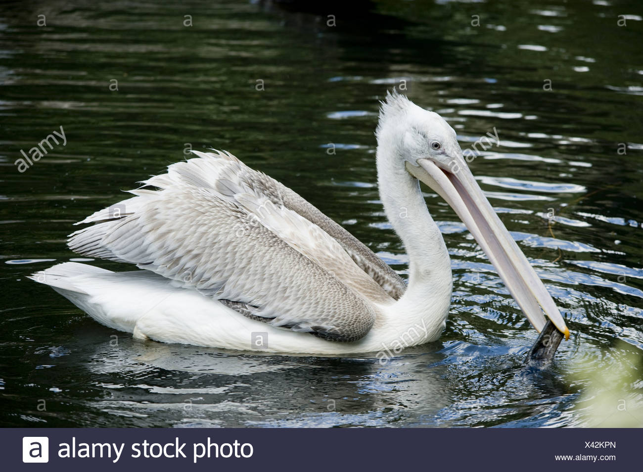 dalmatian pelican, pelecanus crispus - Stock Image