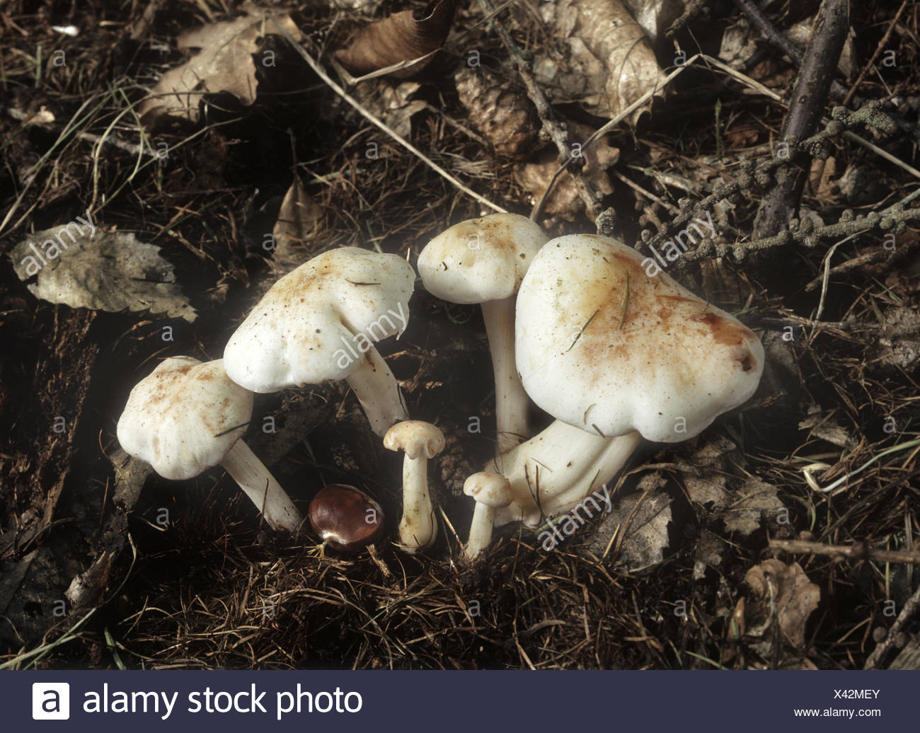 Spotted Toughshank - Collybia maculata - Stock Image