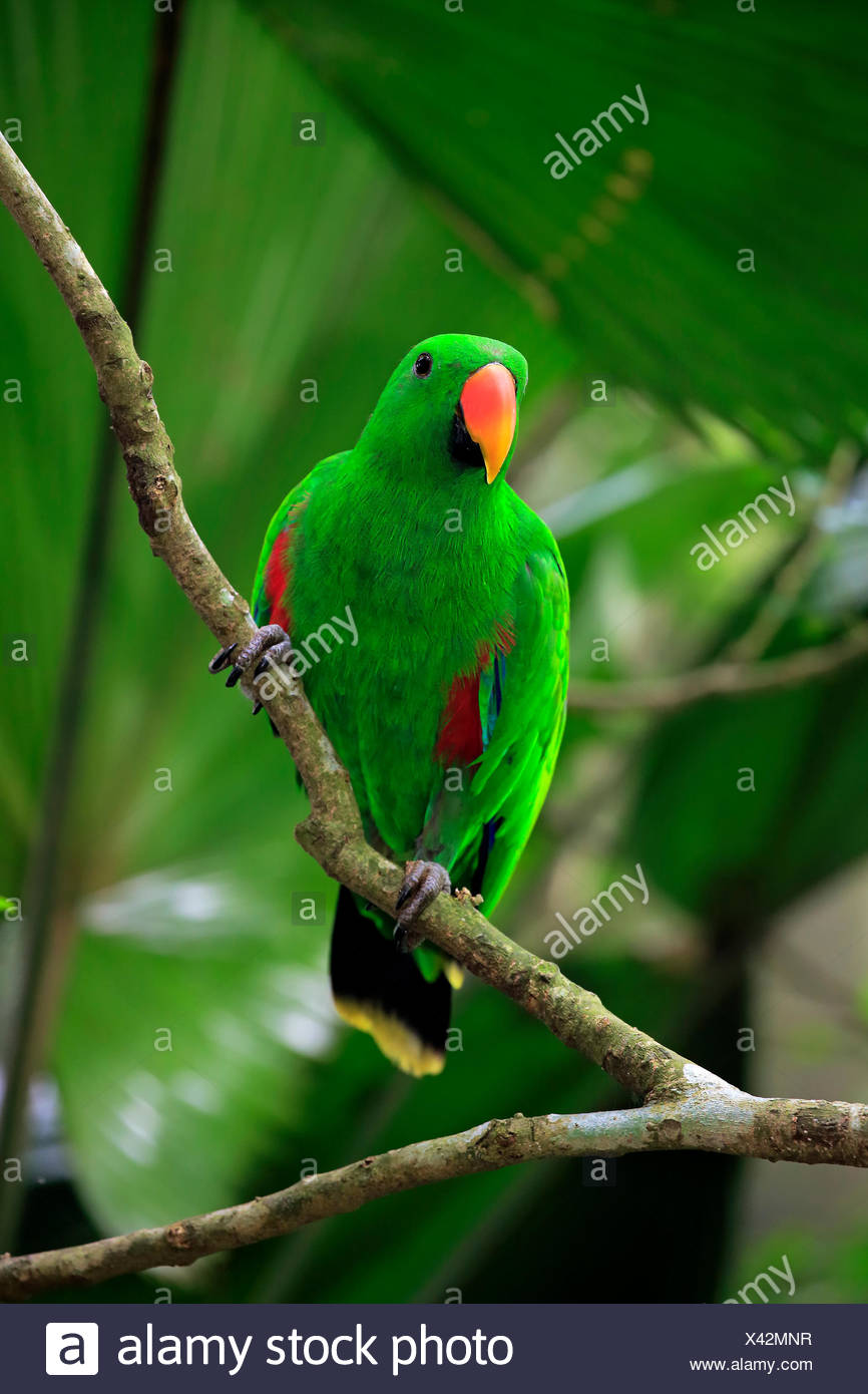 Eclectus Parrot (Eclectus roratus), adult, male, on the lookout, captive, native to Asia Stock Photo