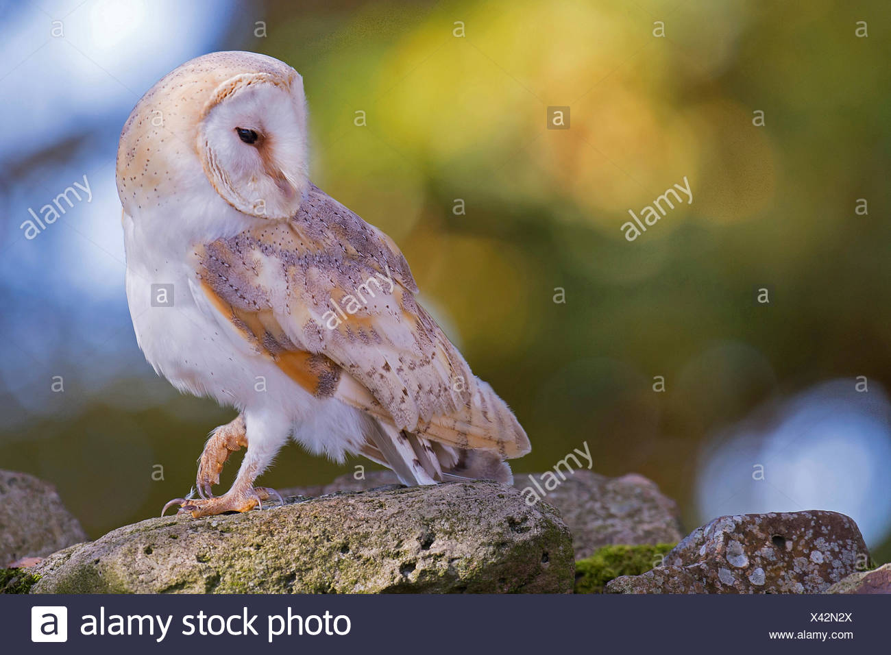 Barn owl (Tyto alba), side glance, Germany, Lower Saxony - Stock Image