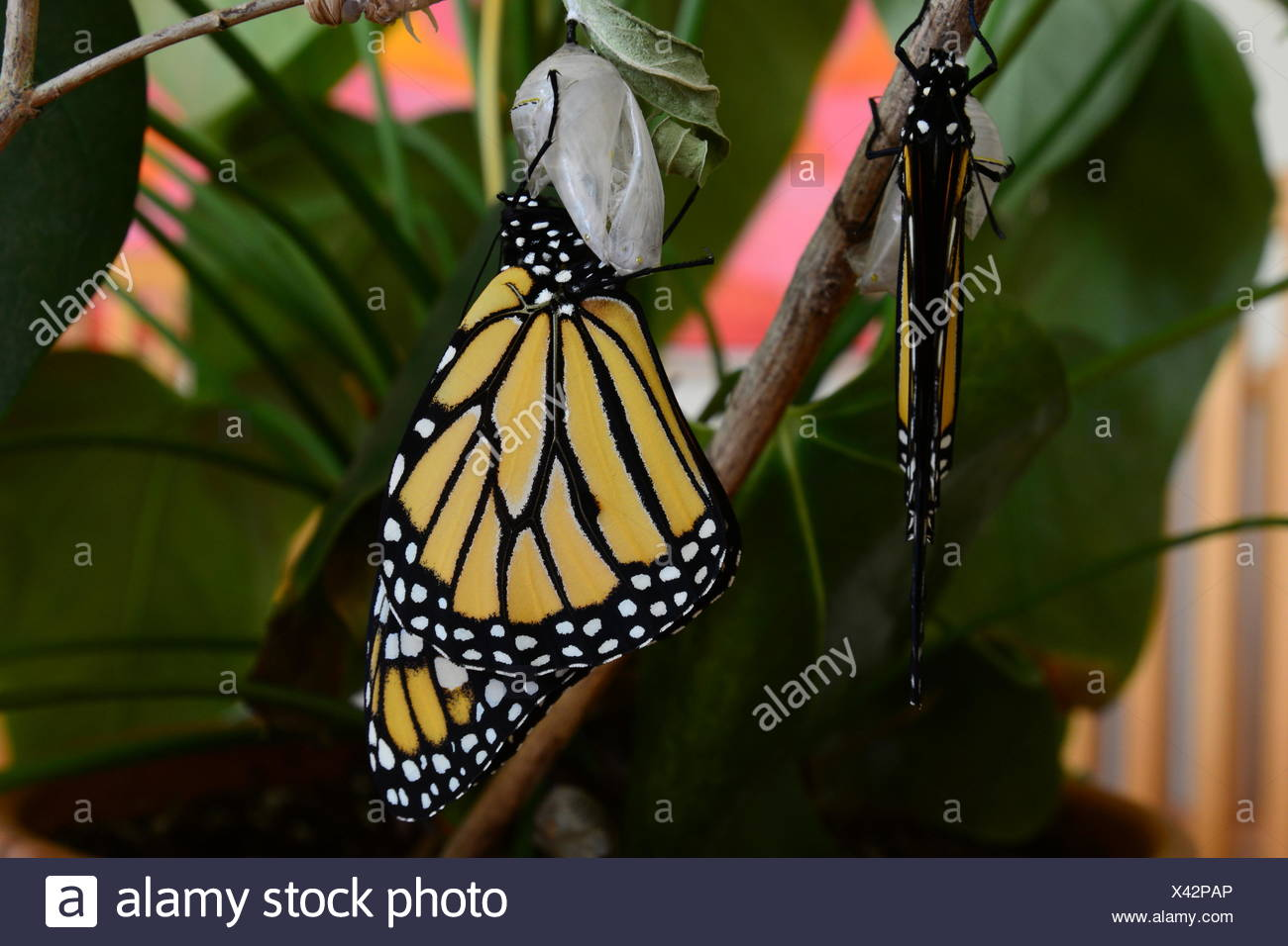 Monarch butterfly, Danaus plexippus, newly hatched from chrysalis. - Stock Image