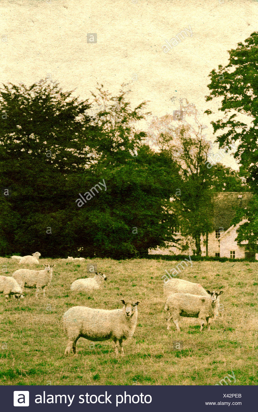 Countryside scene with sheep in a field with a large house hidden amongst trees - Stock Image