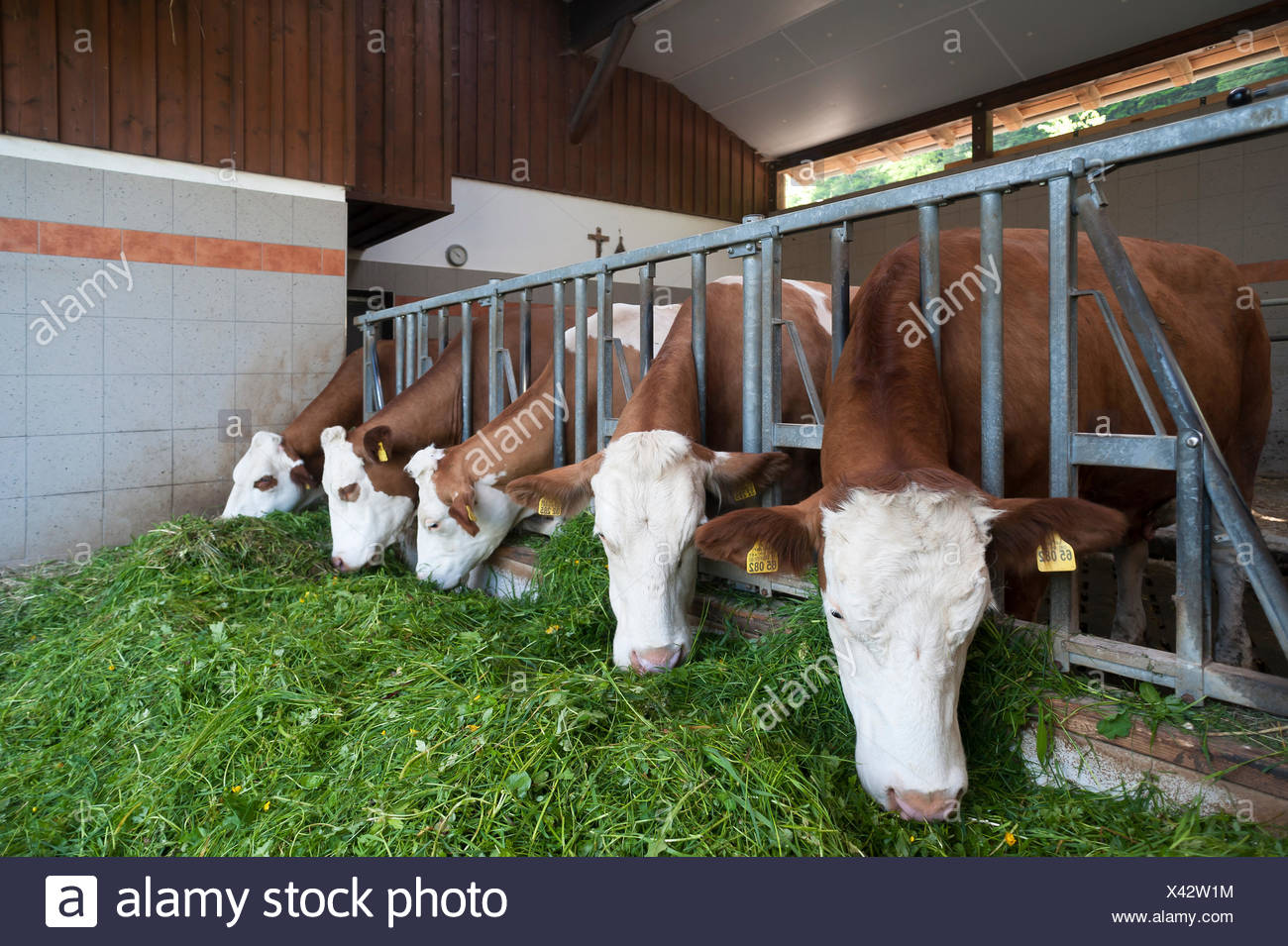 Dairy cows in an excercise pen eating grass, Oberbayern, Germany - Stock Image
