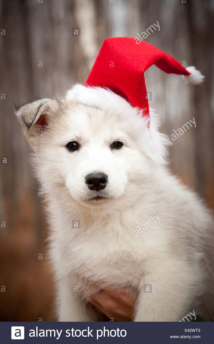 Red White Siberian Husky Dog Stock Photos Red White Siberian Husky