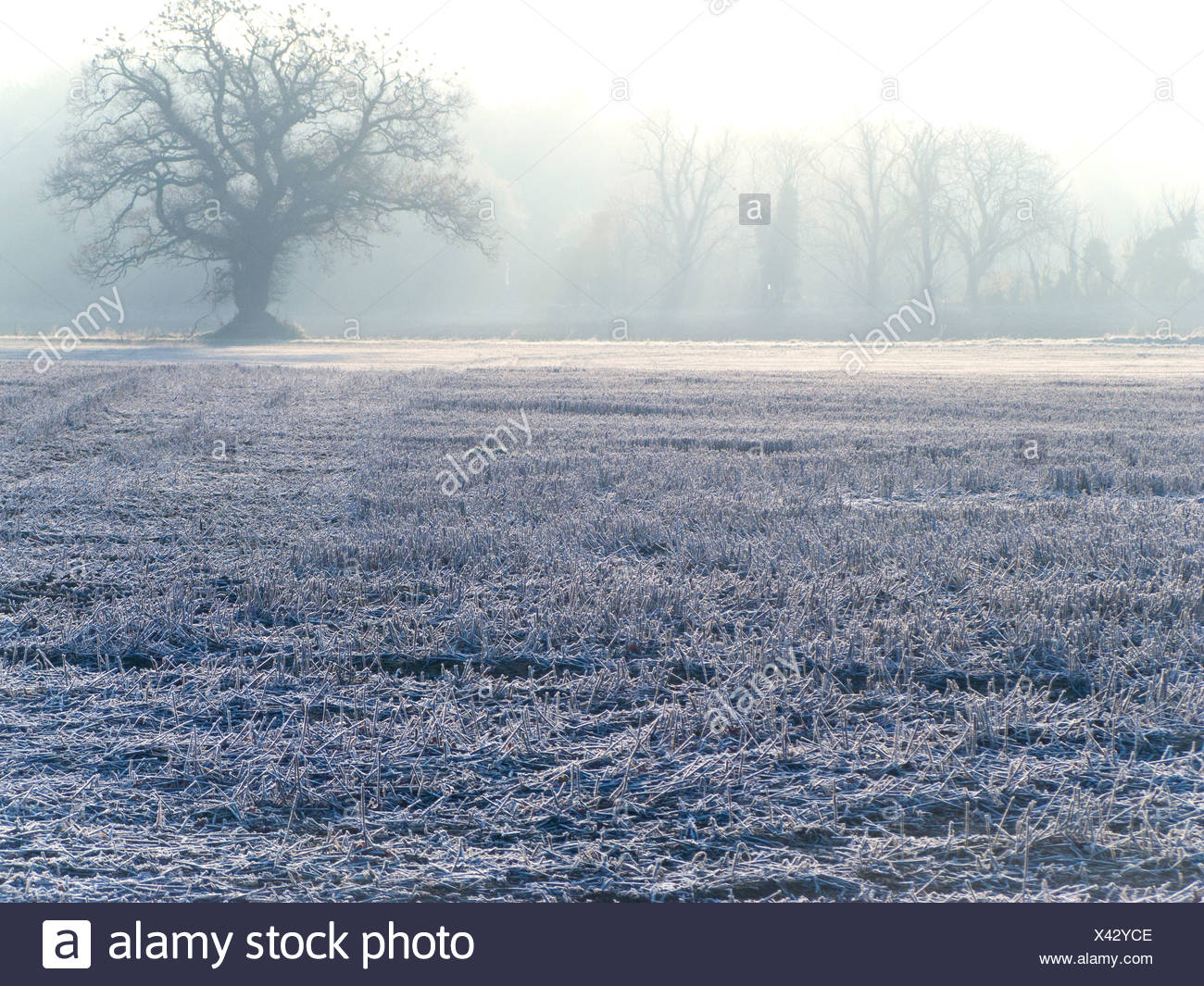 Tree and field covered in frost - Stock Image