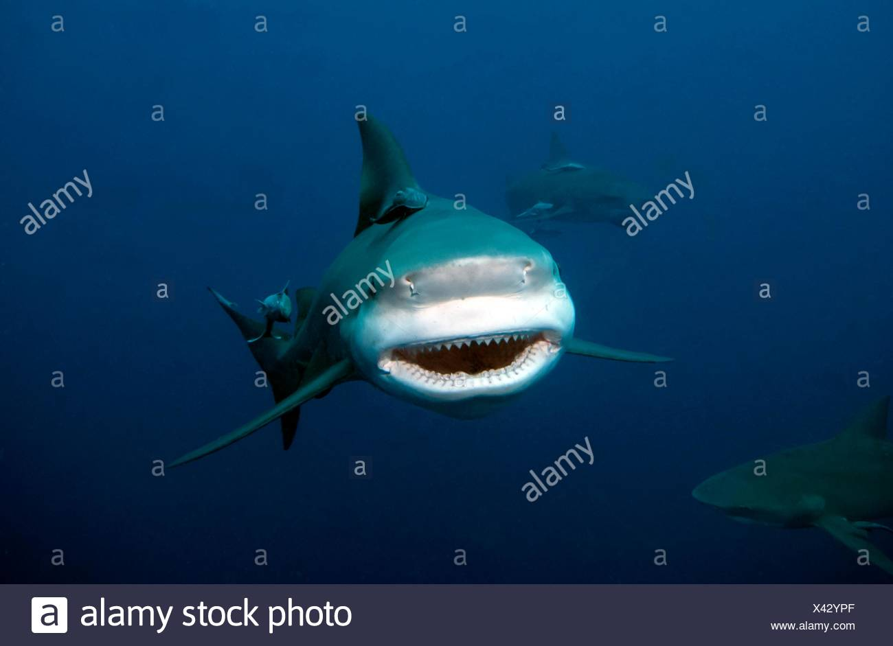 Bull shark, Carcharhinus leucas, Carcharhinidae, Mozambique, Indian Ocean Stock Photo