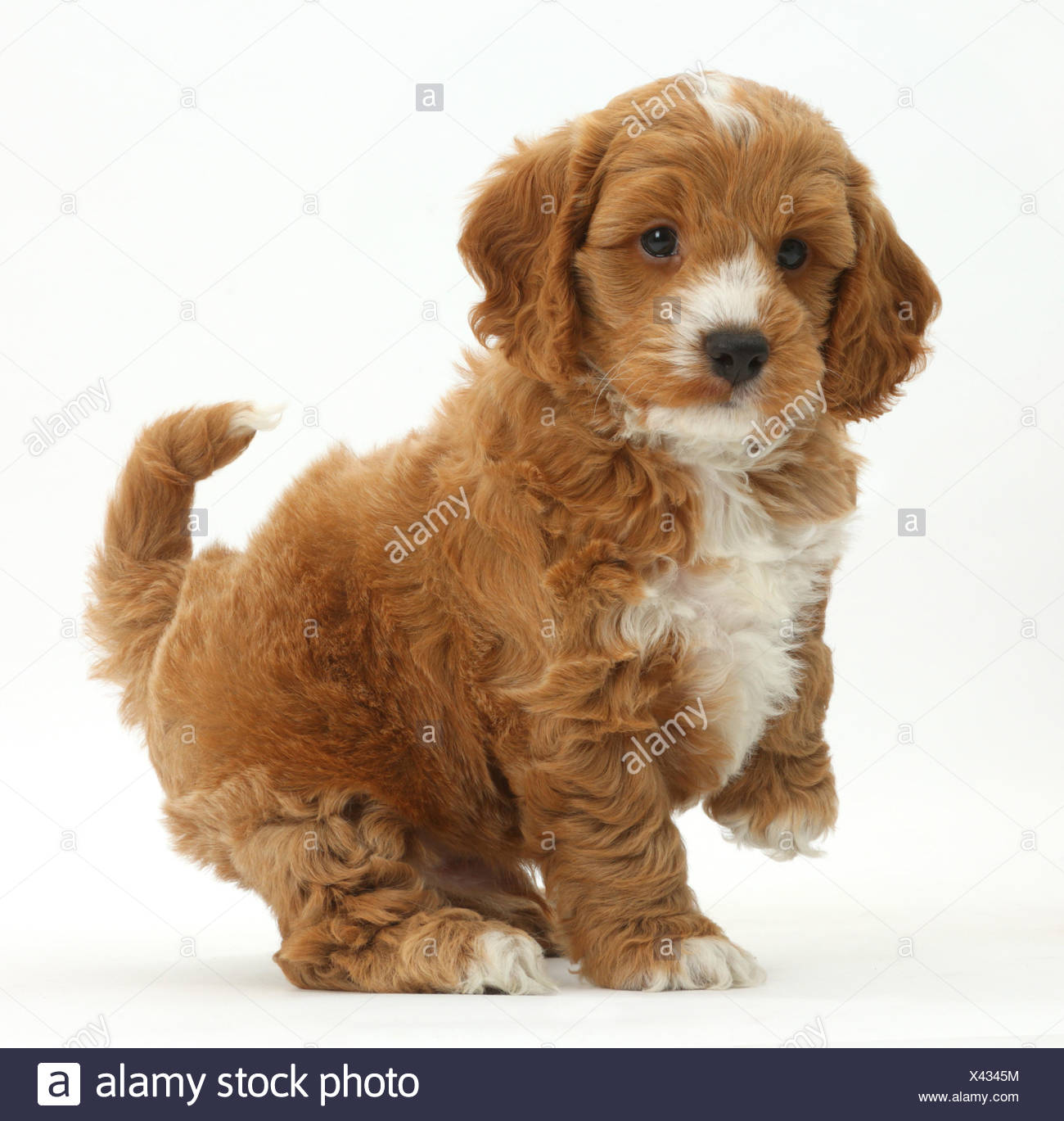 Cockapoo, Cocker spaniel cross Poodle puppy with paw raised. - Stock Image