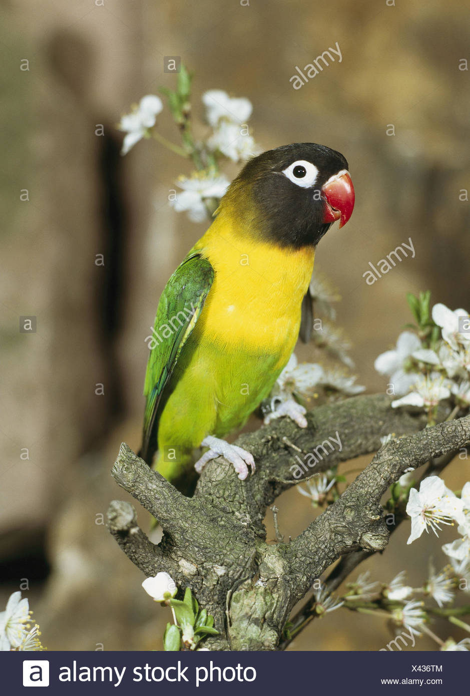 Branch Schwarzkopfchen Agapornis Personata Vigilance Wildlife Animal Bird Parrot Bird Inseparable Mask Inseparable Plumages Colorfully Colored