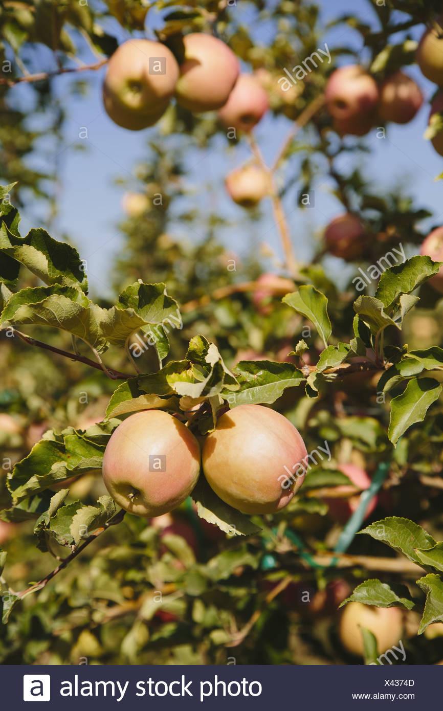 Washington State USA Honeycrisp apples on tree - Stock Image