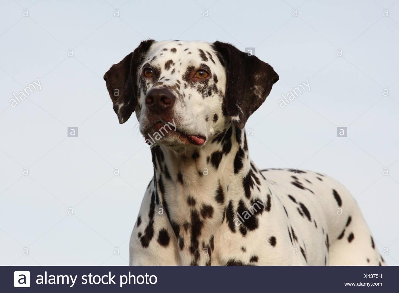Dalmatiner Portrait / Dalmatian Portrait - Stock Image