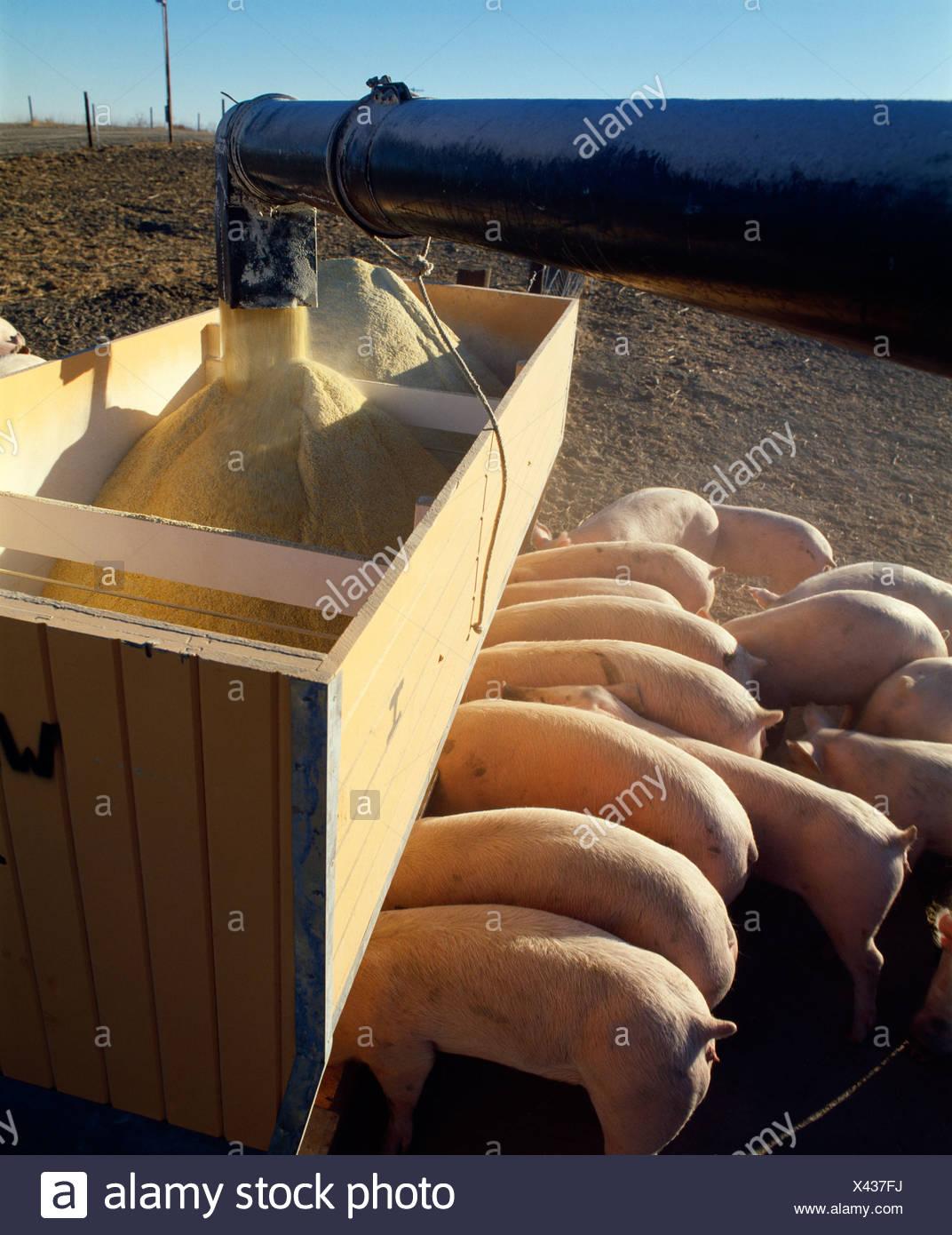 FEEDING 125-175 LB CROSSBRED GILTS / NEBRASKA - Stock Image