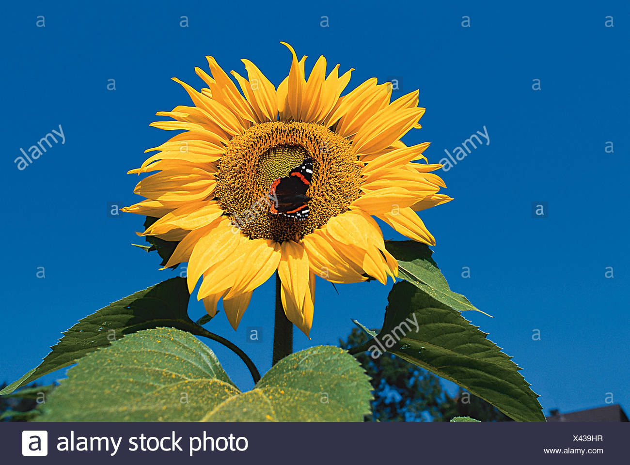Sunflower with Butterlfy - Stock Image
