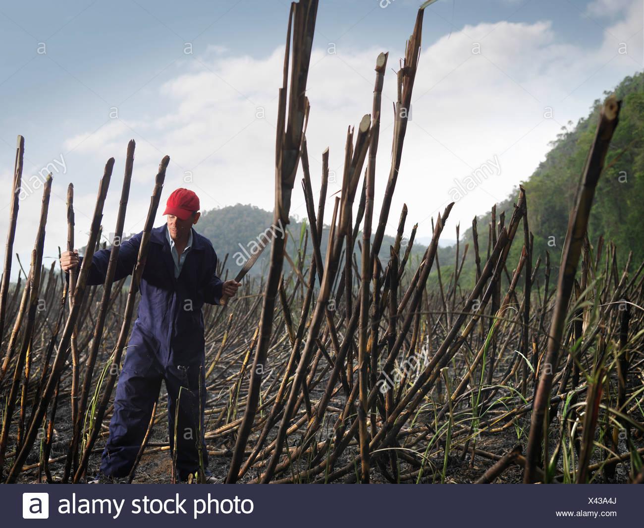 Worker Cutting Burnt Sugar Cane - Stock Image