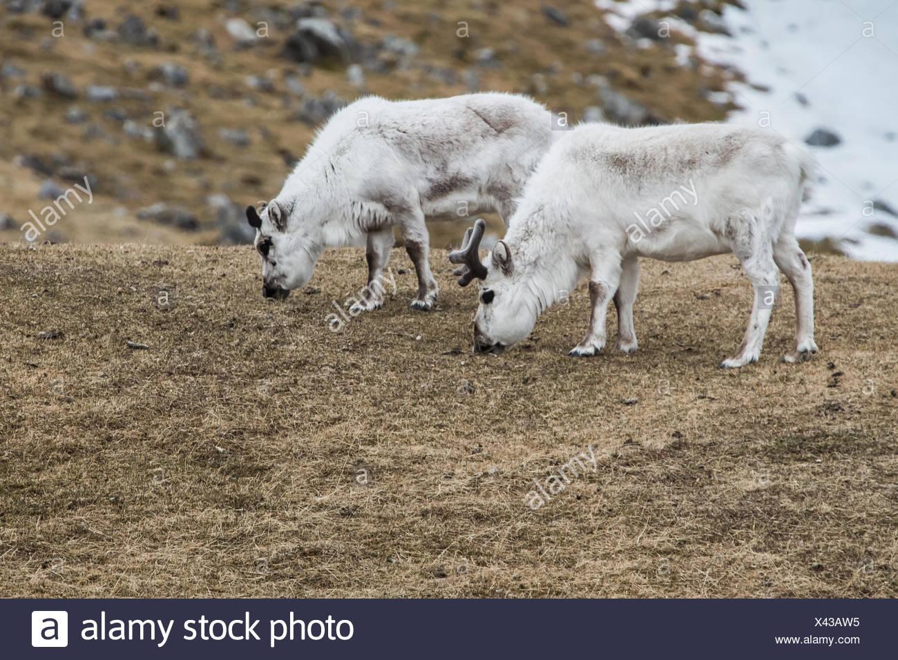 Svalbard reindeer, Rangifer tarandus platyrhynchus, grazing. This is a subspecies of reindeer endemic to the Svalbard islands. - Stock Image