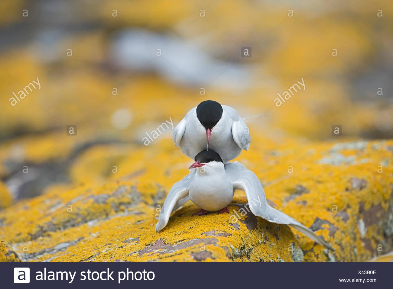 Arctic Tern Sterna paradisaea mating Inner Farne Northumberland - Stock Image