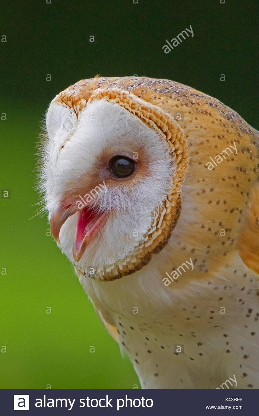 barn owl (Tyto alba), calling, Germany, Bavaria - Stock Image