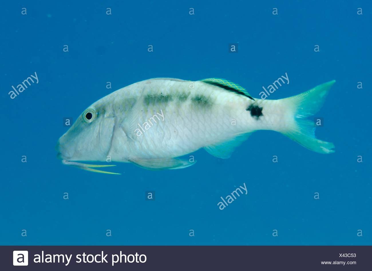 Dash-dot Goatfish (Parupeneus barberinus) on black sand, Crystal