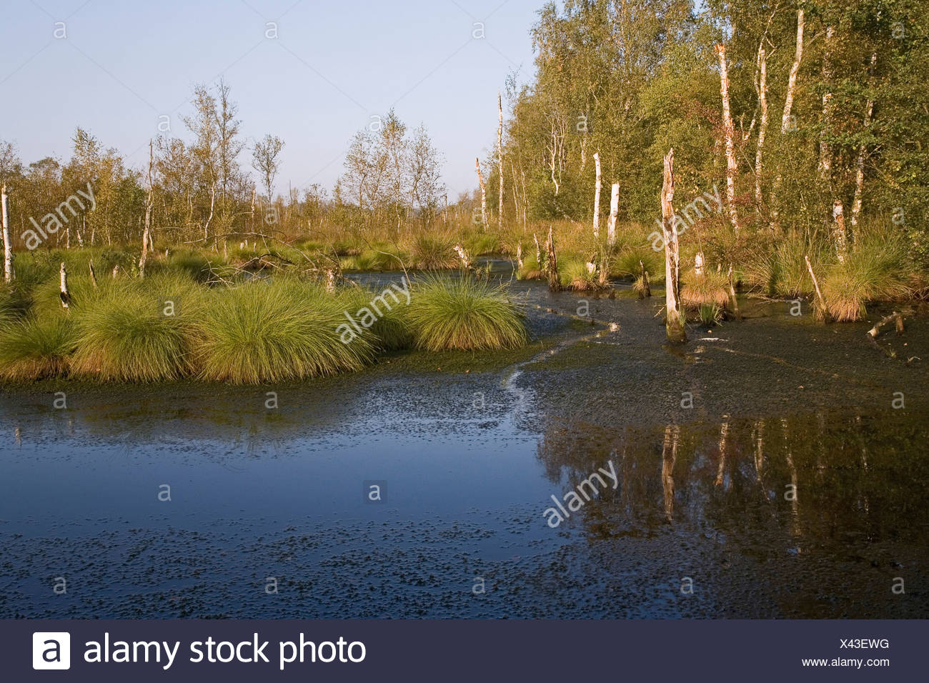moor landscape, birch trees, Toten Moor, Dead Moor, Lower Saxony, northern Germany - Stock Image